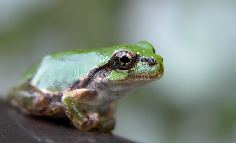 лягушка глаза Стоковое Изображение