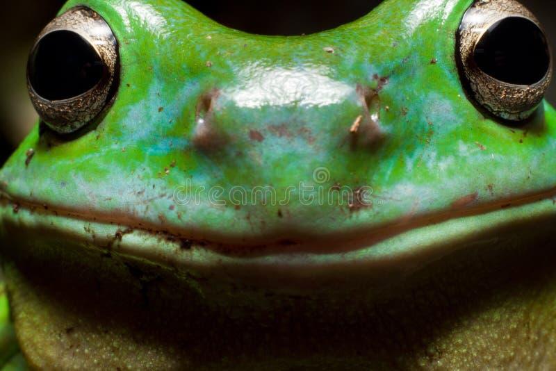 Лягушка дерева Smiley стоковое фото rf