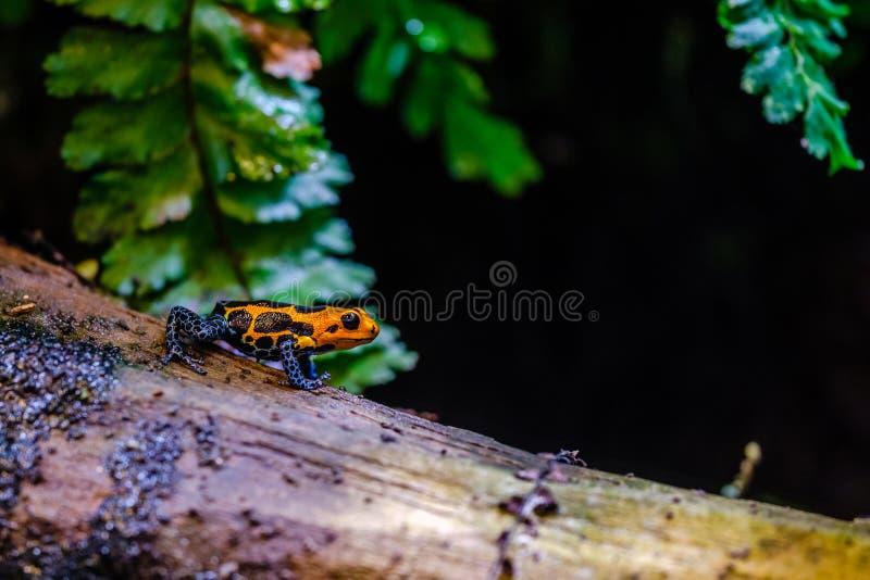 Лягушка дротика отравы, оранжевое голубое ядовитое животное от дождевого леса Амазонки Перу стоковое изображение rf