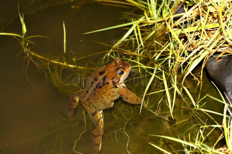Лягушка женщины общая - temporaria Раны - уроженец стоковое фото