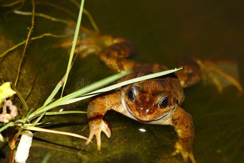 Лягушка женщины общая - temporaria Раны - уроженец стоковое фото rf