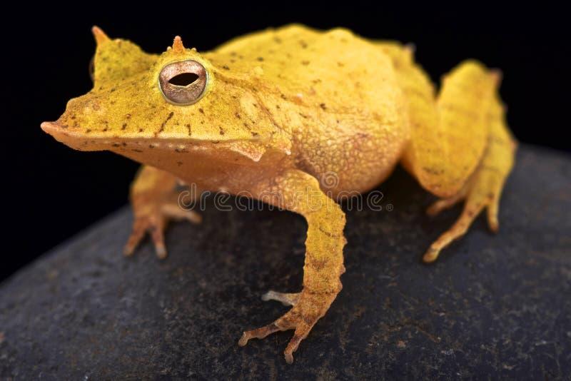Лягушка лист Соломоновых Островов (guentheri Ceratobatrachus) стоковые изображения rf