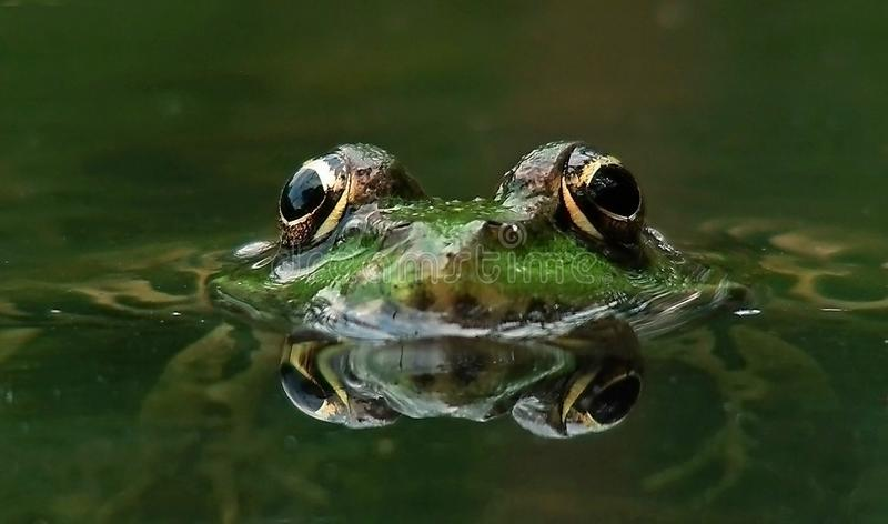 Лягушка лежа на воде стоковые фотографии rf