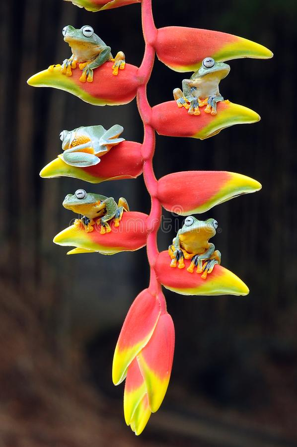 лягушка летания, лягушки, древесная лягушка, лодкамиамфибии, животные, макрос, фотография макроса, животная фотография, фото живо стоковое изображение rf