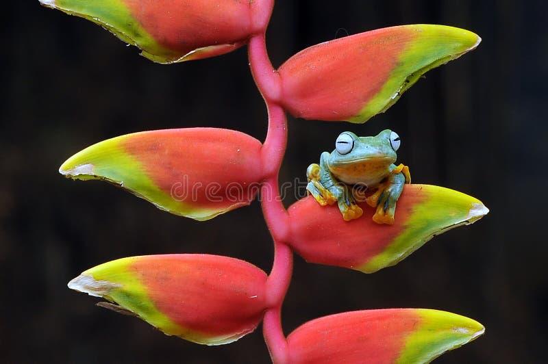лягушка летания, лягушки, древесная лягушка, лодкамиамфибии, животные, макрос, фотография макроса, животная фотография, фото живо стоковое фото rf
