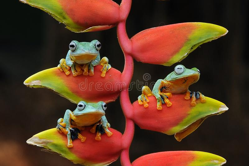 лягушка летания, лягушки, древесная лягушка, лодкамиамфибии, животные, макрос, фотография макроса, животная фотография, фото живо стоковая фотография rf