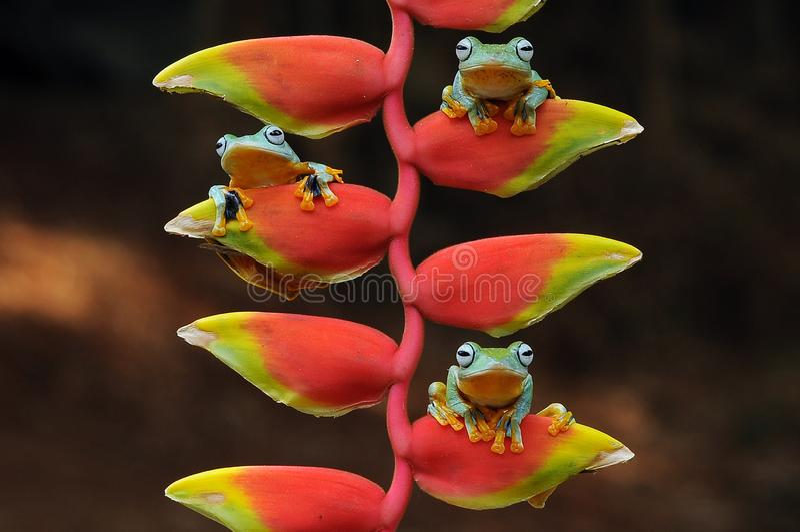 лягушка летания, лягушки, древесная лягушка, лодкамиамфибии, животные, макрос, фотография макроса, животная фотография, фото живо стоковые изображения