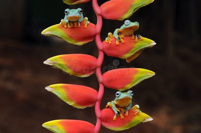 лягушка летания, лягушки, древесная лягушка, лодкамиамфибии, животные, макрос, фотография макроса, животная фотография, фото живо стоковое фото