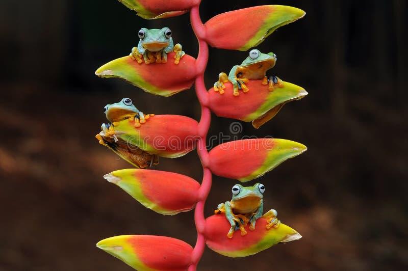 лягушка летания, лягушки, древесная лягушка, лодкамиамфибии, животные, макрос, фотография макроса, животная фотография, фото живо стоковые фото