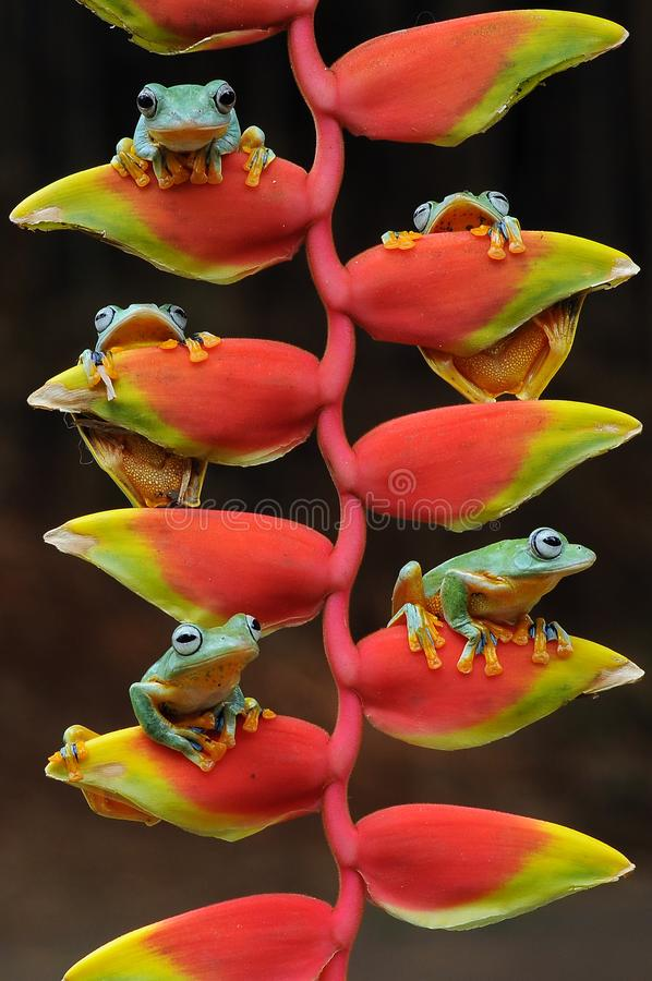 лягушка летания, лягушки, древесная лягушка, лодкамиамфибии, животные, макрос, фотография макроса, животная фотография, фото живо стоковое изображение