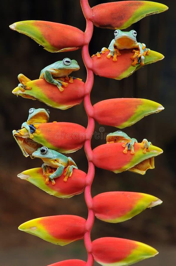 лягушка летания, лягушки, древесная лягушка, лодкамиамфибии, животные, макрос, фотография макроса, животная фотография, фото живо стоковая фотография