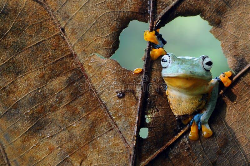 Лягушка летания, dumpy лягушка, лягушки стоковая фотография rf