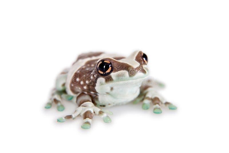 Лягушка молока Амазонки изолированная на белизне стоковое изображение rf