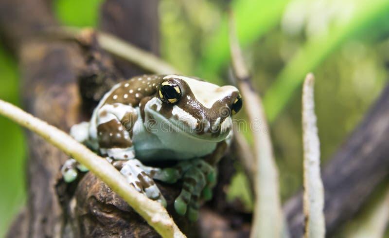 Лягушка молока Амазонки стоковые изображения