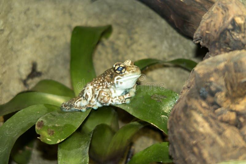 Лягушка молока Амазонки, resinifictrix Phrynohyas, сидя на bromelie лист стоковое фото rf