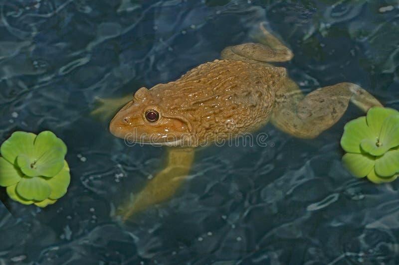 Лягушка на воде боково стоковые фотографии rf