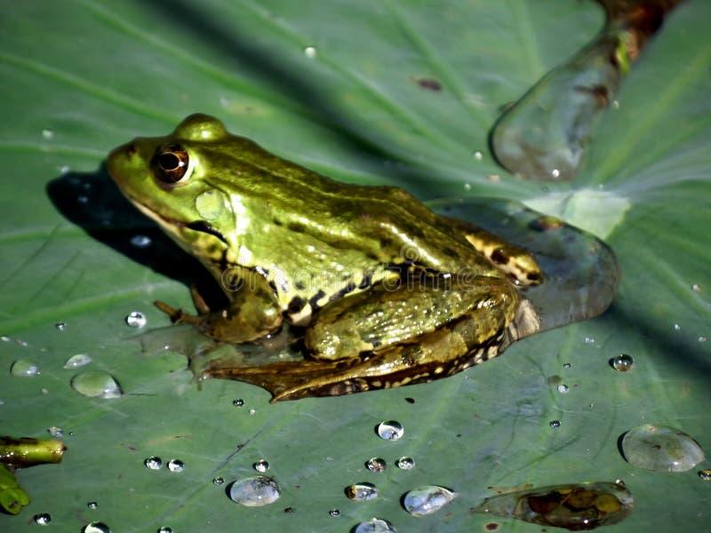 Лягушка на листьях стоковые фотографии rf