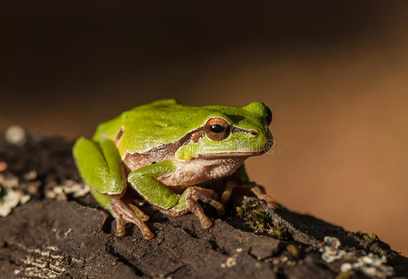 Лягушка на коре дерева стоковое фото rf