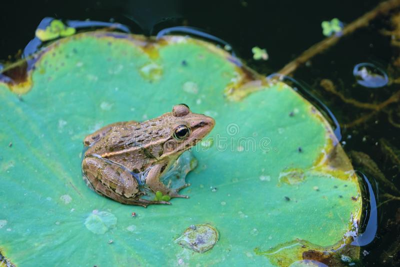 Лягушка на листе стоковое изображение