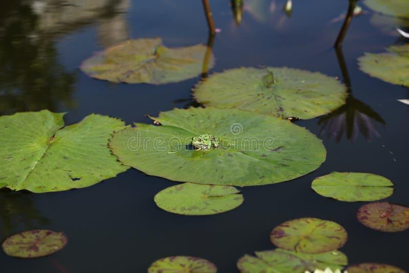 Лягушка на пусковой площадке лилии стоковое фото rf