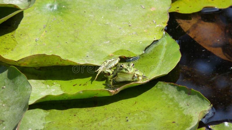 Лягушка на пусковой площадке лилии стоковое изображение rf