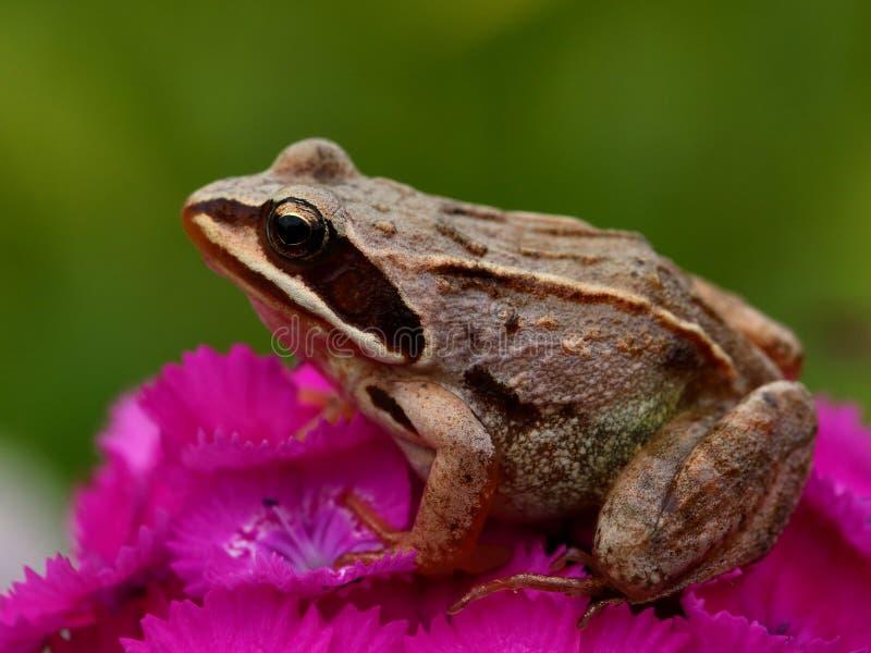 Лягушка на розовом цветке стоковая фотография