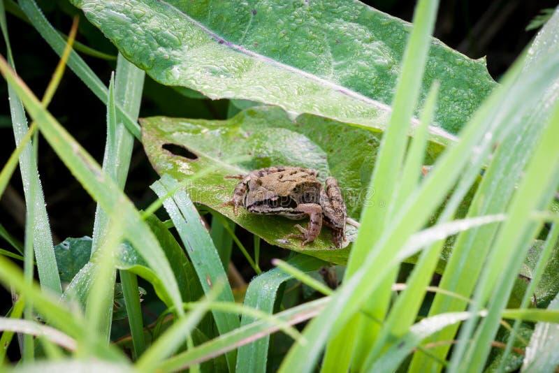 Лягушка на росе утра травы стоковые фотографии rf