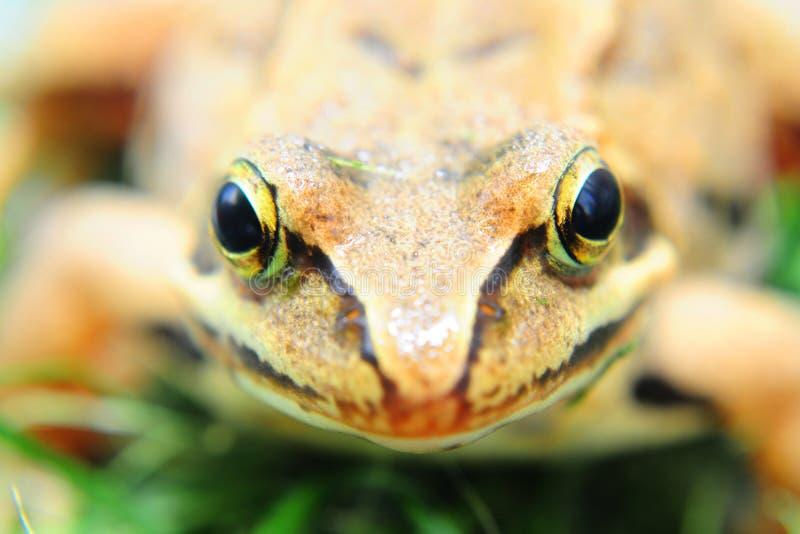 Лягушка на траве стоковые изображения