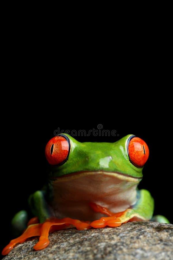 Лягушка на черноте изолированной утесом стоковое изображение rf