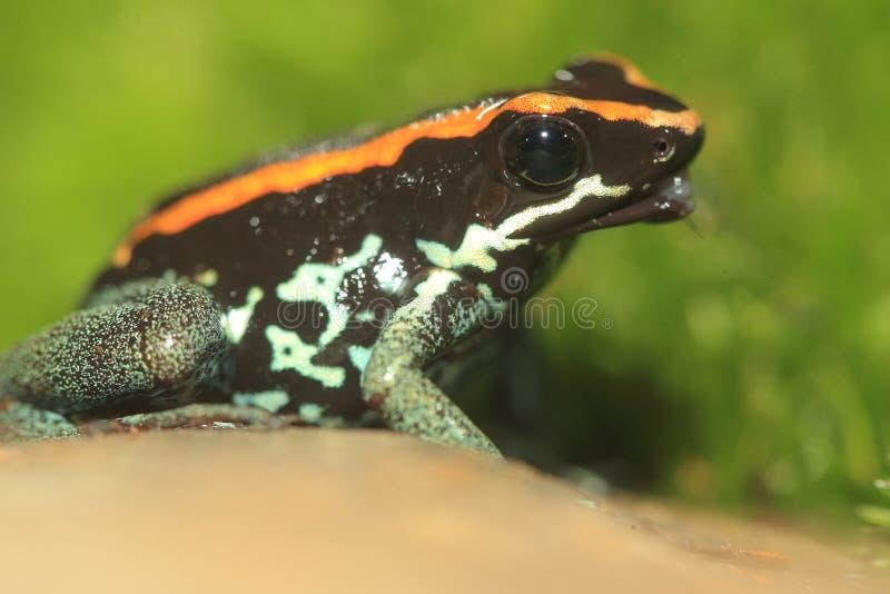 Лягушка отравы Golfodulcean стоковое изображение