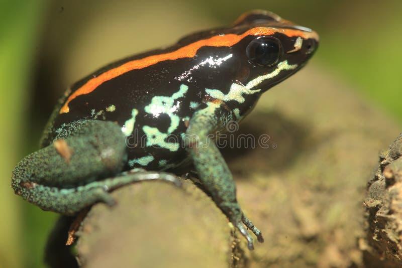 Лягушка отравы Golfodulcean стоковая фотография rf