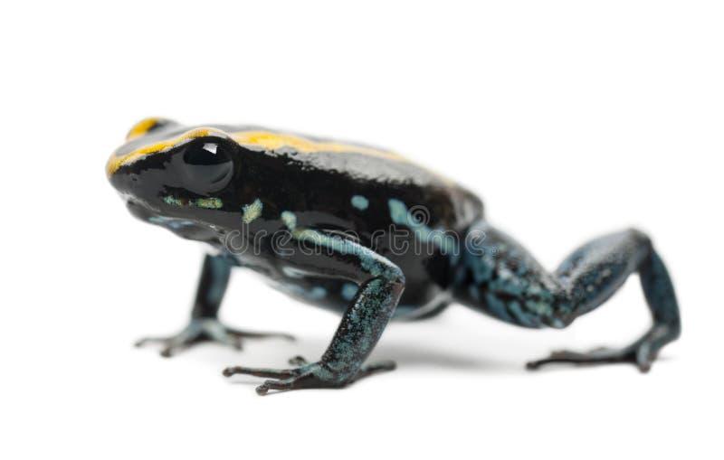 Лягушка отравы Golfodulcean, vittatus Phyllobates стоковая фотография rf