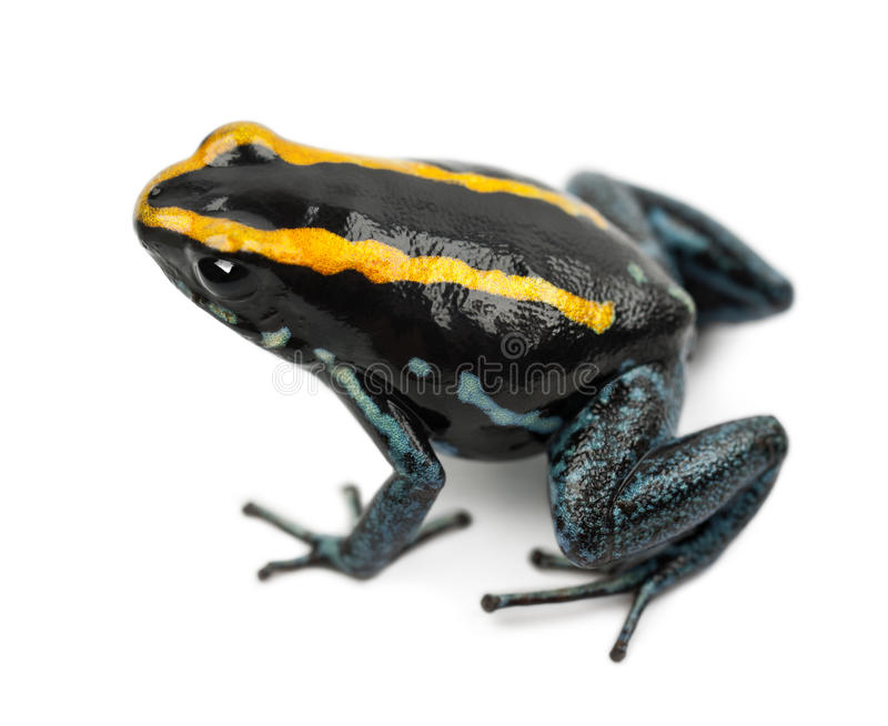 Лягушка отравы Golfodulcean, vittatus Phyllobates стоковые изображения