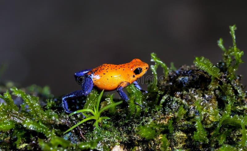 Лягушка дротика голубых джинсов, Коста Ric стоковые изображения