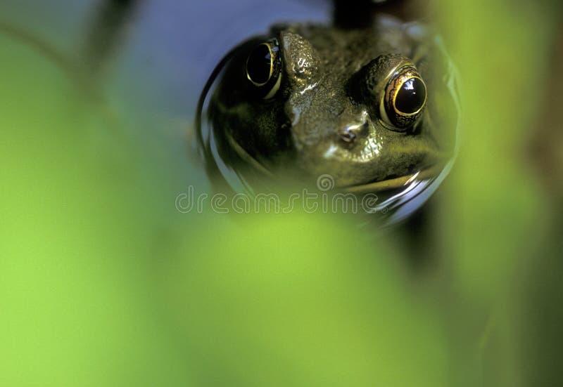 лягушка стороны стоковая фотография rf
