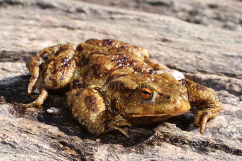 лягушка уродская стоковая фотография