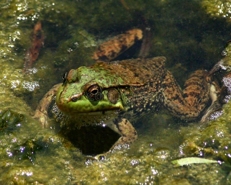 лягушка Стоковая Фотография RF