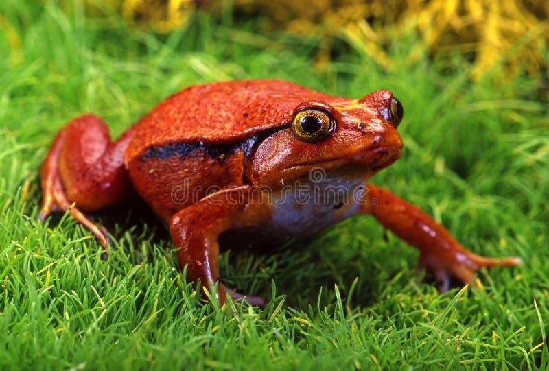 Лягушка. стоковое изображение