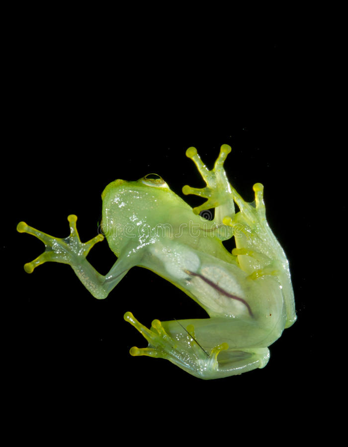 Лягушка Argus Reed стоковая фотография