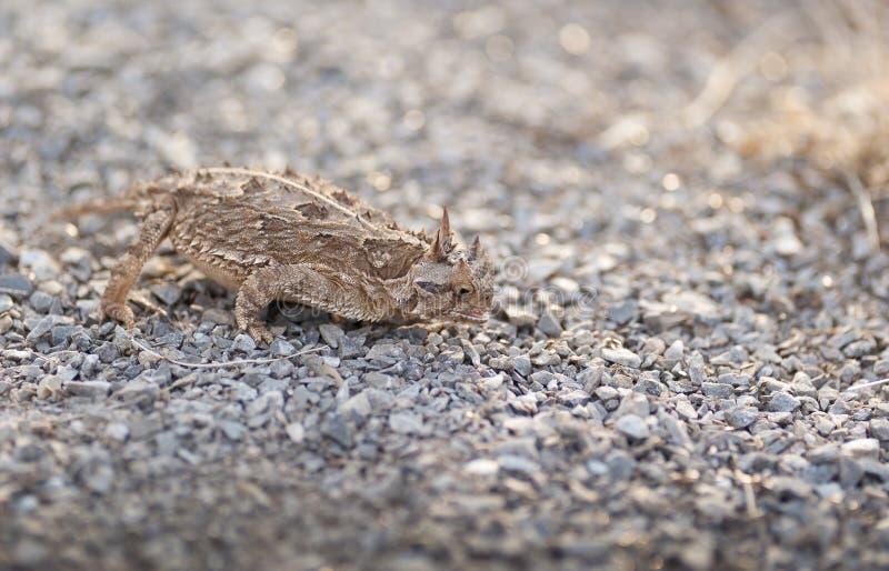 лягушка horned texas стоковые изображения rf