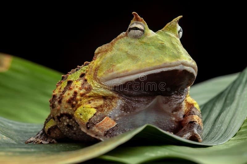 Лягушка Pacman или horned жаба стоковое изображение