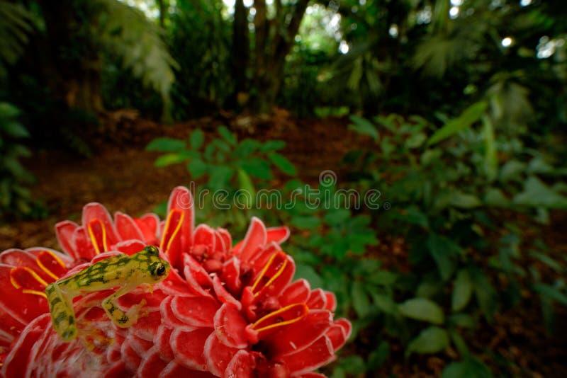 Лягушка Raticulated стеклянная, valerioi Hyalinobatrachium, среда обитания природы, животное с большими красными глазами, в реке  стоковое изображение