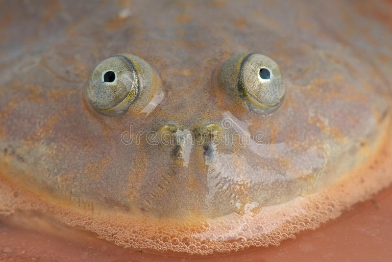 лягушка s budgett стоковые изображения