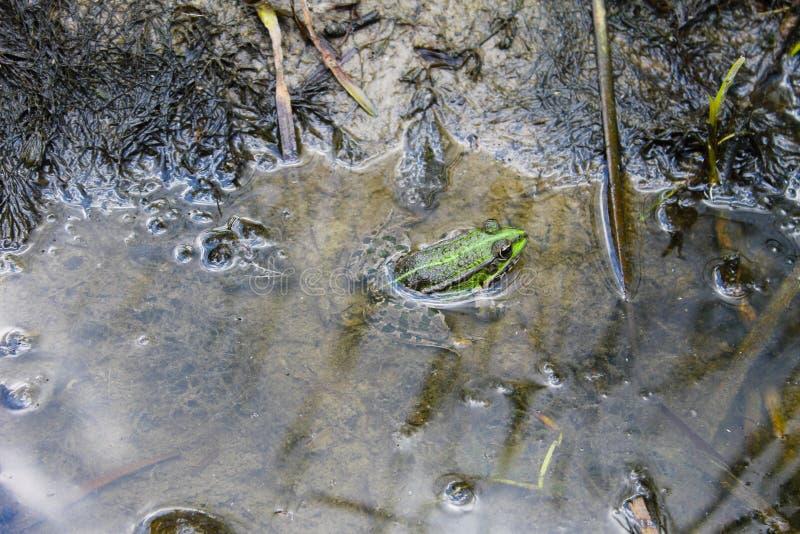 Лягушки в болоте стоковое изображение