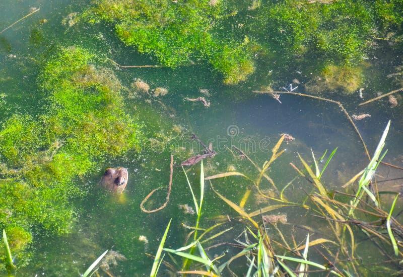 Лягушки в воде стоковая фотография