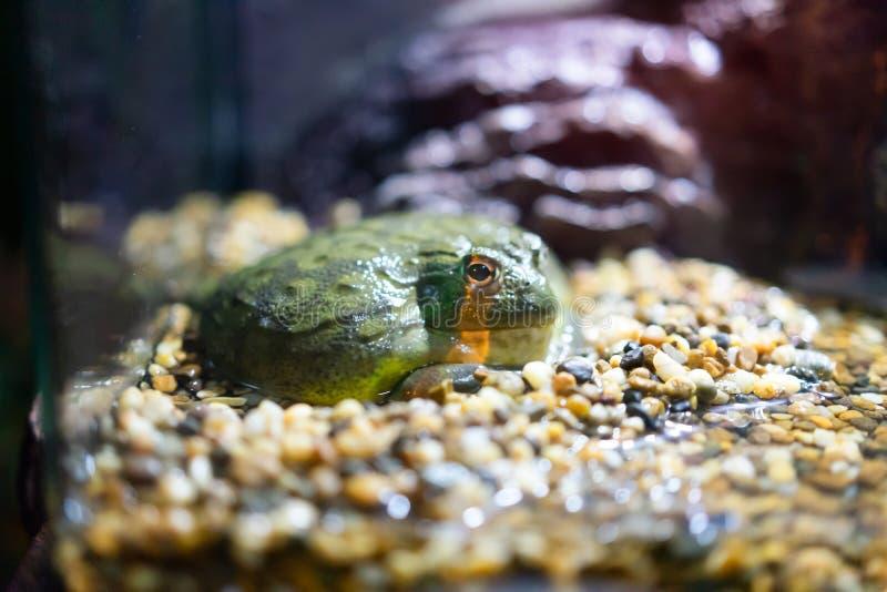 Лягушки в стеклянных шкафах Любимчик концепция друга стоковое фото