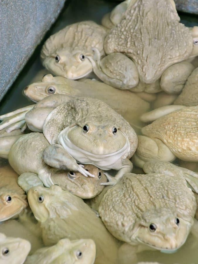 Лягушки в ферме стоковое изображение rf
