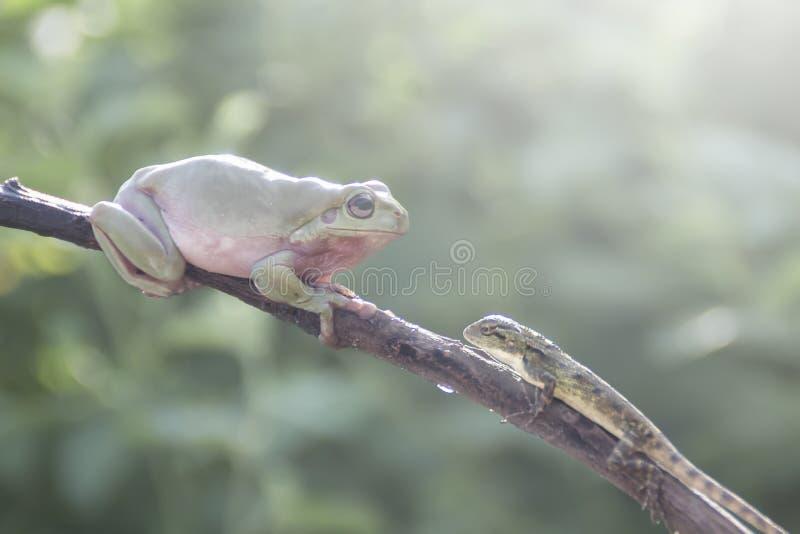 Лягушки, древесные лягушки на хворостинах с темной предпосылкой стоковые изображения