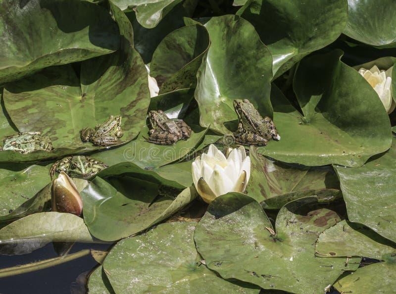 Лягушки на листьях лилии воды на озере стоковое изображение