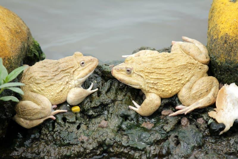 2 лягушки стоковая фотография rf